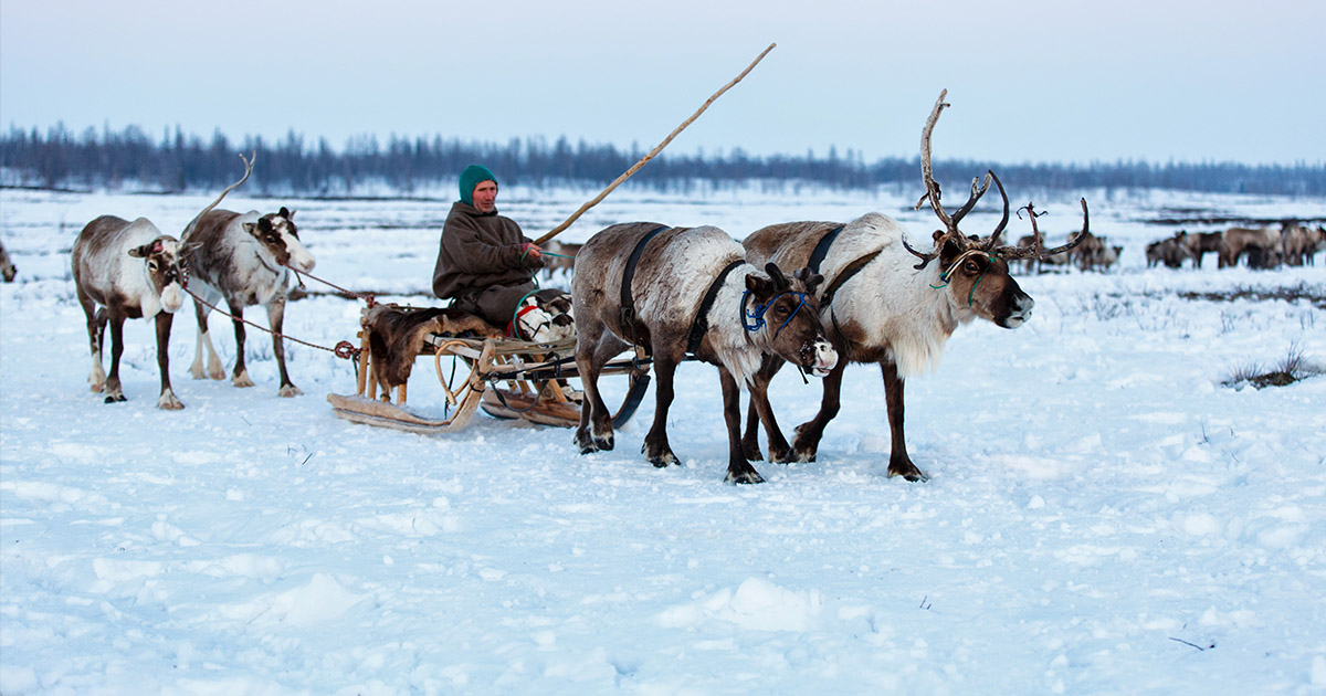 Reindeer with a sled in Siberia