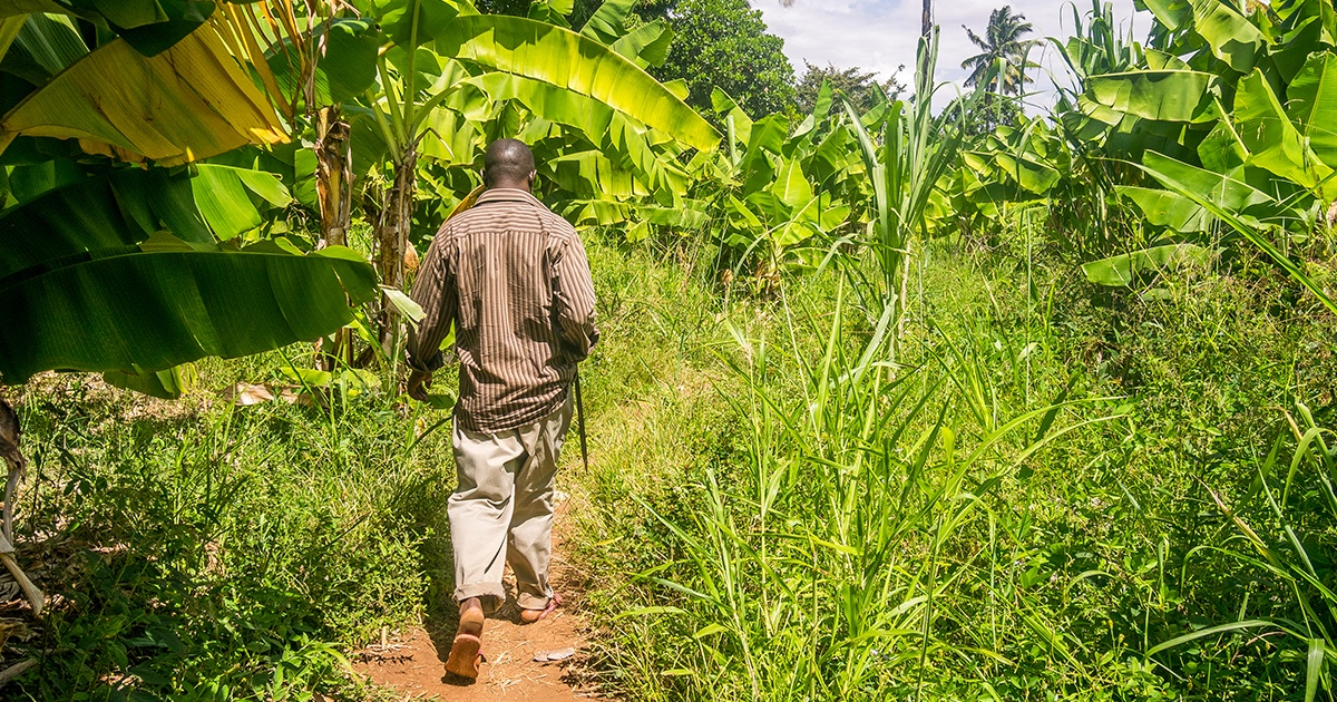 Man walking through banana farm in Kenya